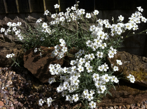 White Rockery Flower